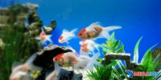 """Top 5 Địa điểm bán cá cảnh """" hot"""" tại PleiKu"""