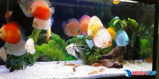 Top các loại Cá Dĩa (Discus) được nhiều người yêu thích