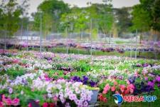 Top 15 địa chỉ bán hạt giống Dạ Yến Thảo uy tín| Cách trồng và chăm sóc hoa Dạ Yến Thảo